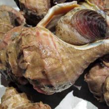 活つぶ貝の刺身